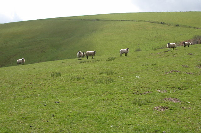 Sheep on Kerry Hill