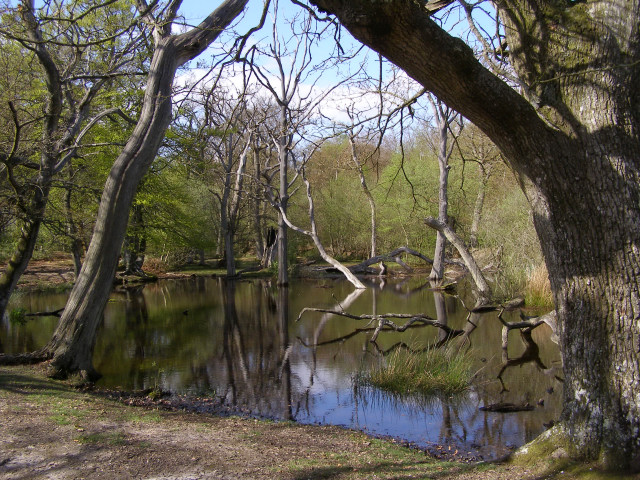 Pond on the western edge of Ferny Crofts, New Forest (1)