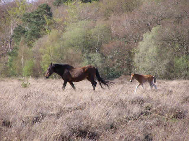 Mare and foal south of Farrant's Copse, New Forest