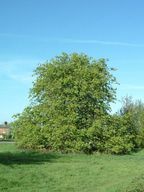 The droopy tree in Spring