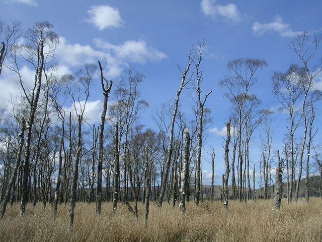 Strange Swamp with Dead Birch Trees