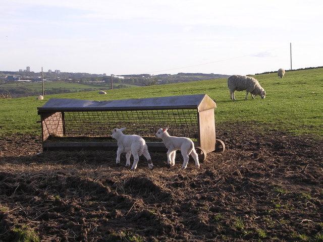 Lambs near Banknock Farm