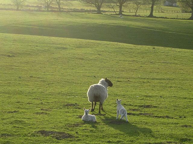 Sheep near Rashiehill Farm