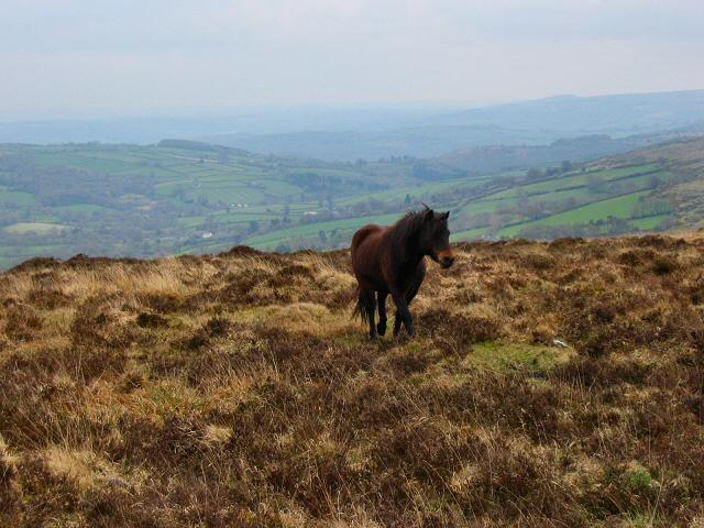 Dartmoor Pony on Old House Hill