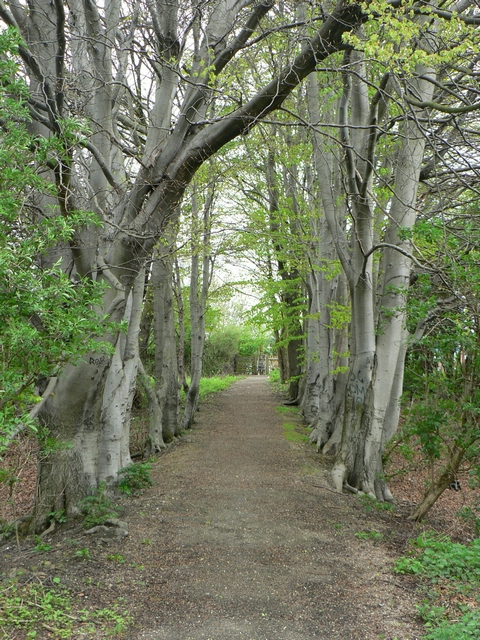 Beech trees by footpath, Kirkstall