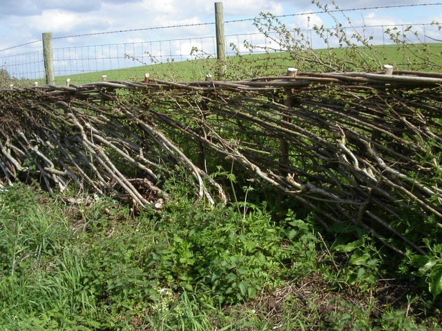 Ancient craft of hedgelaying