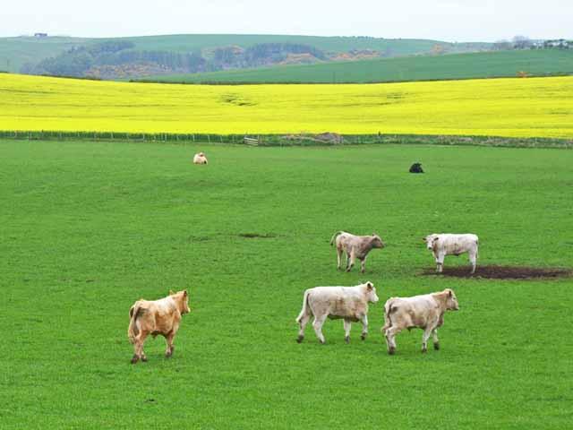 Bullocks and oilseed rape