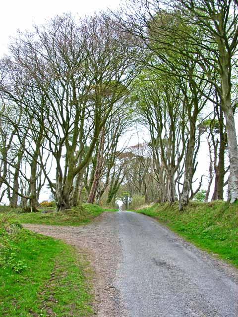 A fine avenue of trees near Lochans
