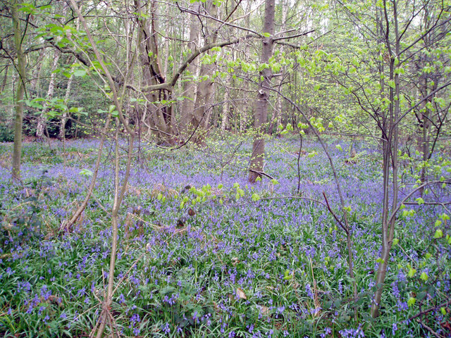 Spring bluebells in the Outwoods, Loughborough