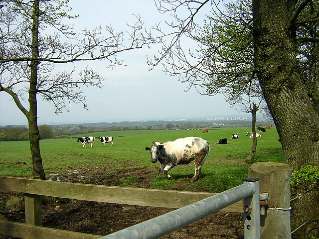 Cows on Thinacre Muir