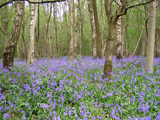 Bluebells near the edge of Micheldever Wood