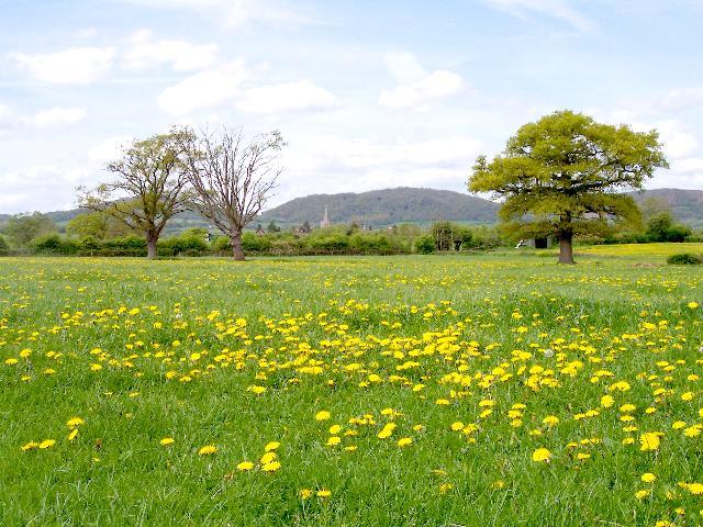 Dandelion Field, near Castlemorton