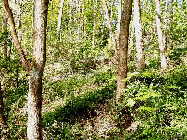 Woodland on the banks of Afon Dyfrdwy