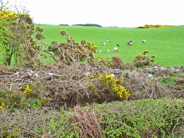 Field with sheep and the all-too-common invasion by gorse