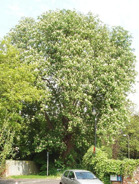 Horse chestnut tree in flower, Abbey Green, Chertsey