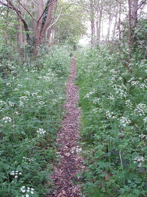 Footpath with cow parsley, Lyne