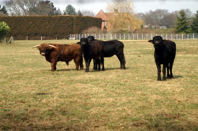 Cattle, Merrie Meads Farm Braishfield