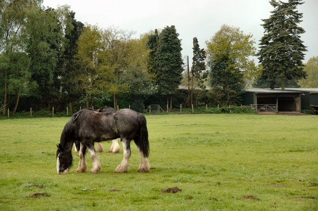 Shire Horses in Windlesham