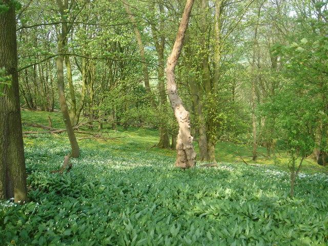 Cuerdale Wood