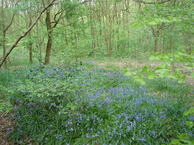 Bluebells in Dog Kennel Wood