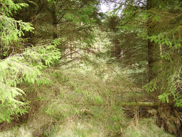 Windthrow, Harehope Forest
