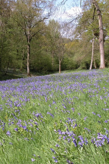 Bluebells in Yatton Wood