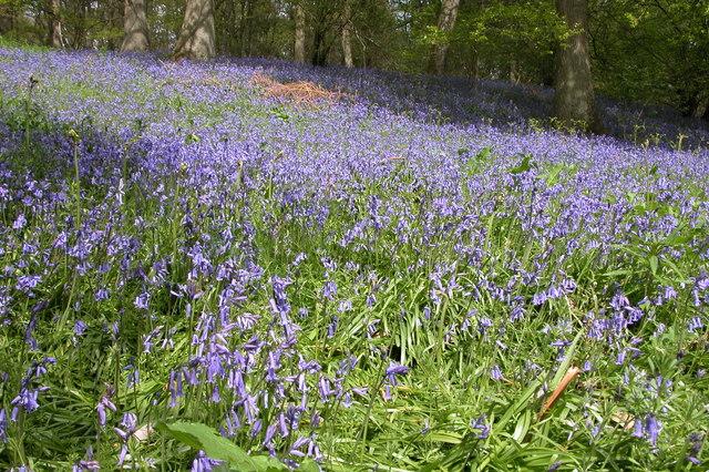 Bluebells in Eaton Park