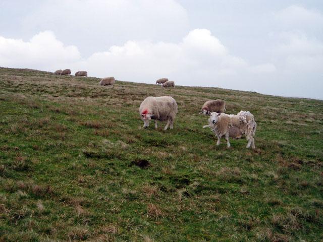 Sheep on the summit of Fan Fawr