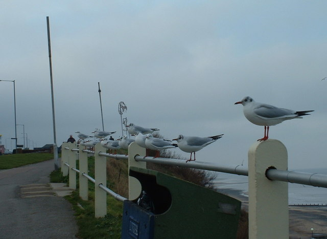 Seagulls at Cromer.