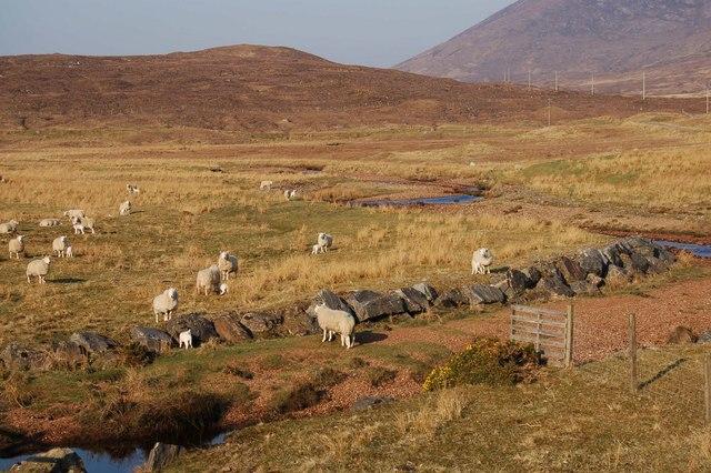 Lambs at Ledgowan