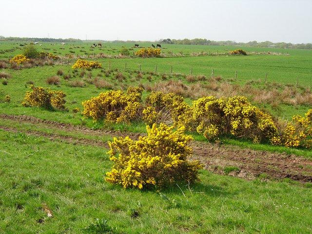 Ulex europaeus