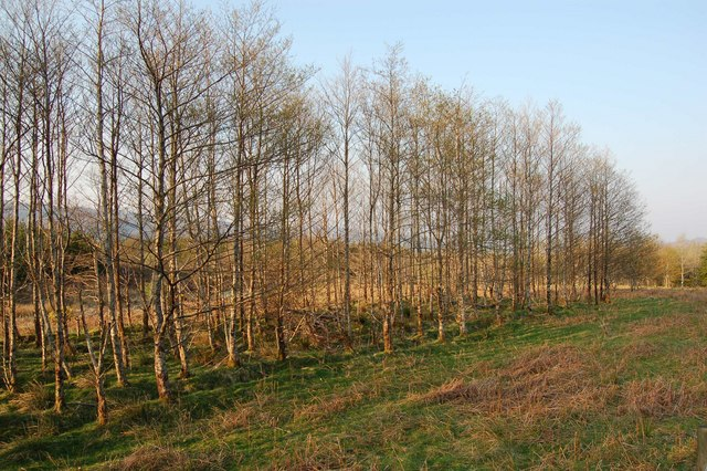 Birch Plantation in Strathcarron