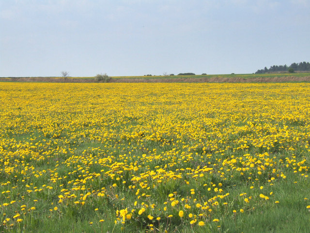Field full of dandelions.