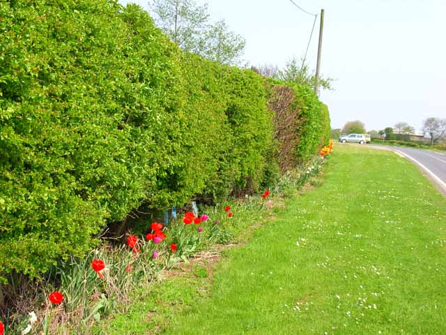 Hedge and floral verge, Oxhill Farm, Whinney Hill