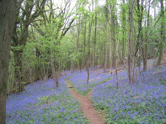 Offa's Dyke Path through bluebells in Highbury Wood