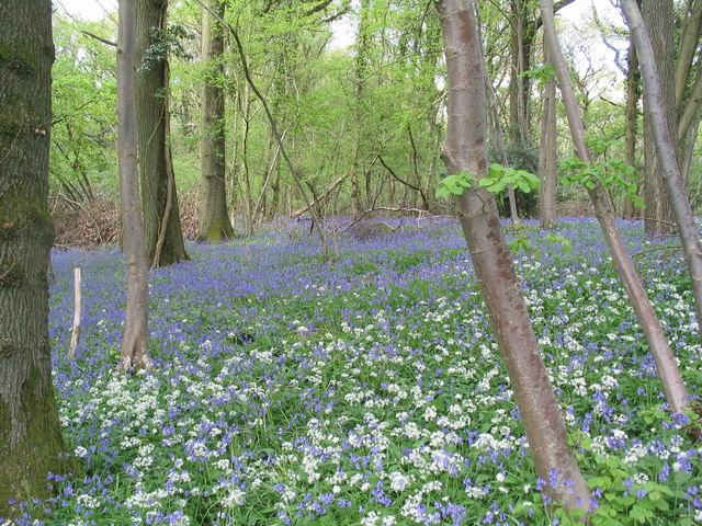 Wild garlic and bluebells in Highbury Wood