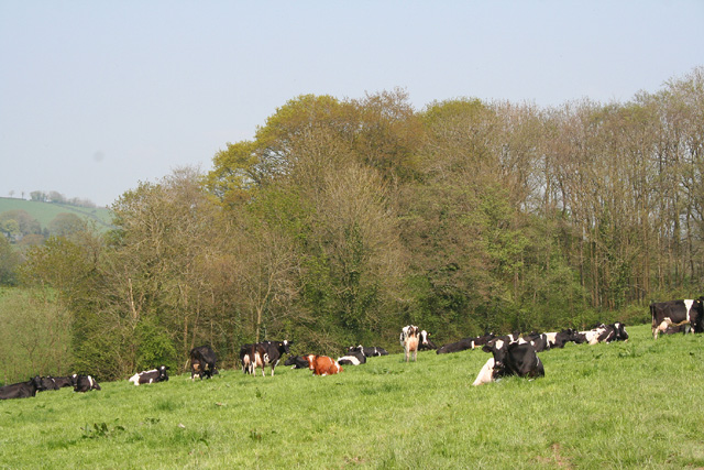 Ashbrittle: cattle in a field near Greedys