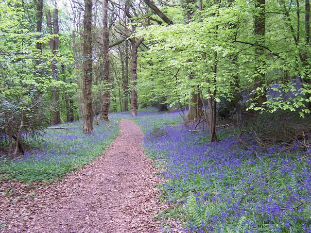 Bluebells in Wyeseal Wood