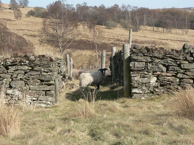 Sheep fank in Glen Cochill