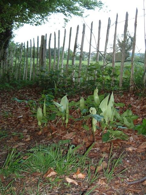 Wild Arum, Cockshoots Wood