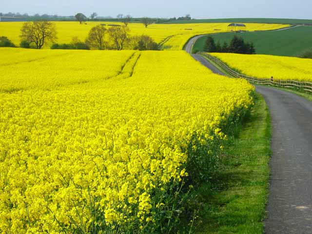 Wall-to-wall oilseed rape