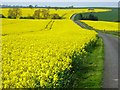 NZ3724 : Wall-to-wall oilseed rape by Oliver Dixon