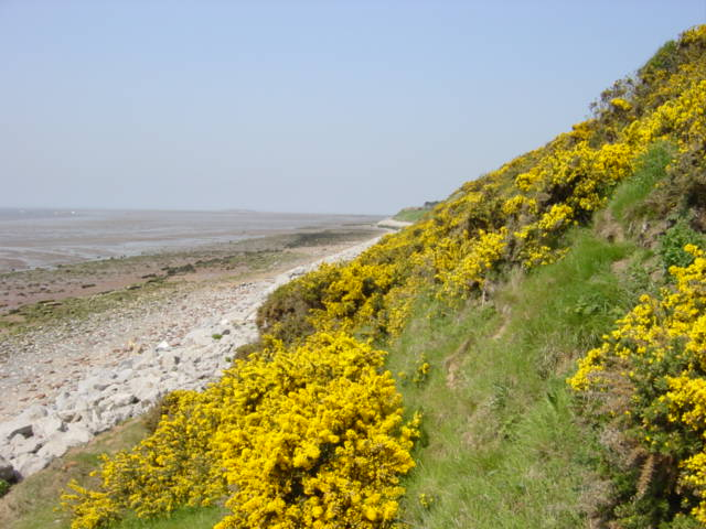 Gorse on the Cliffs at Caldy