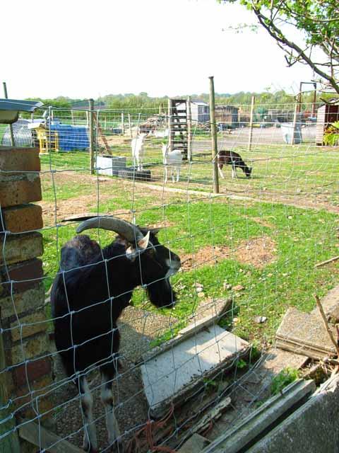 Goat farm near Sedgefield