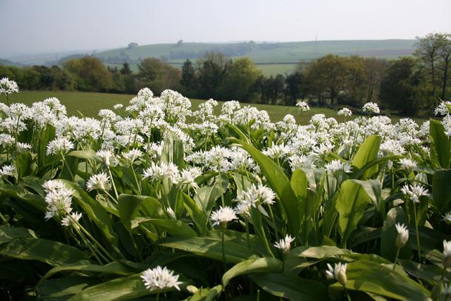Chipstable: wild garlic