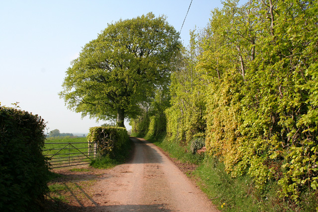 Skilgate: lane with beech tree and hedge