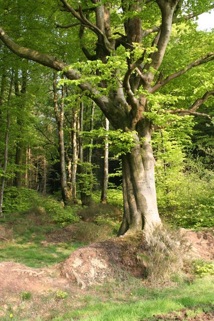 Chipstable: beech wood at Heydon Hill