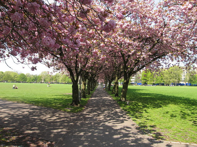 Cherry Trees, Coronation Walk