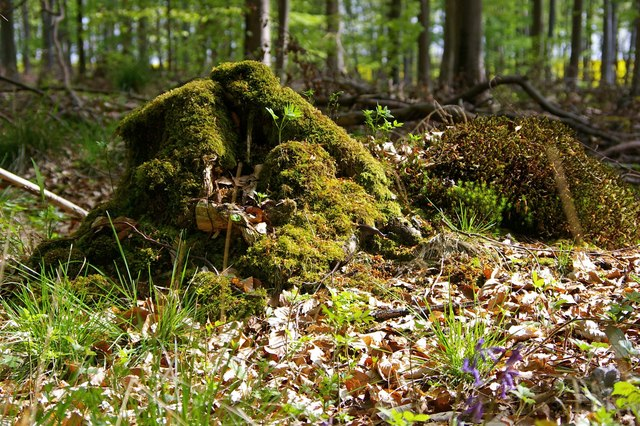 Mossy Stump in Black Wood