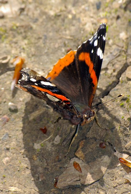 Red Admiral in Black Wood